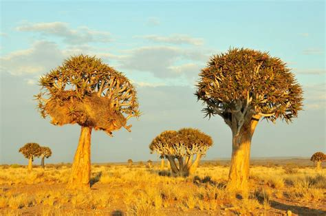 the inside secrets of trees in Namibia